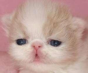 波斯猫一天吃几顿饭?饮食的注意事项有哪些?
